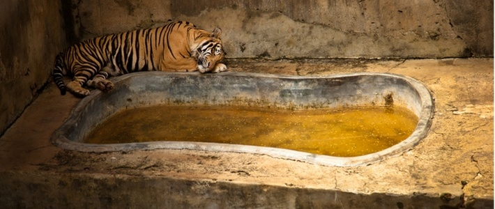 disadvantage of zoo Zoos: pitiful prisons despite their professed concern for animals tatiana, a siberian tiger, escaped her substandard enclosure at the san francisco zoo in 2007 and was shot to death after she killed one person and injured two others.